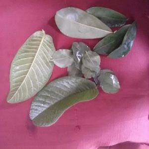 les feuilles des 3 plantes